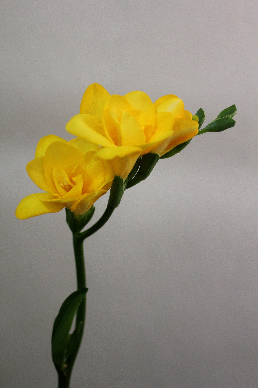 Яркие желтые цветы фрезии