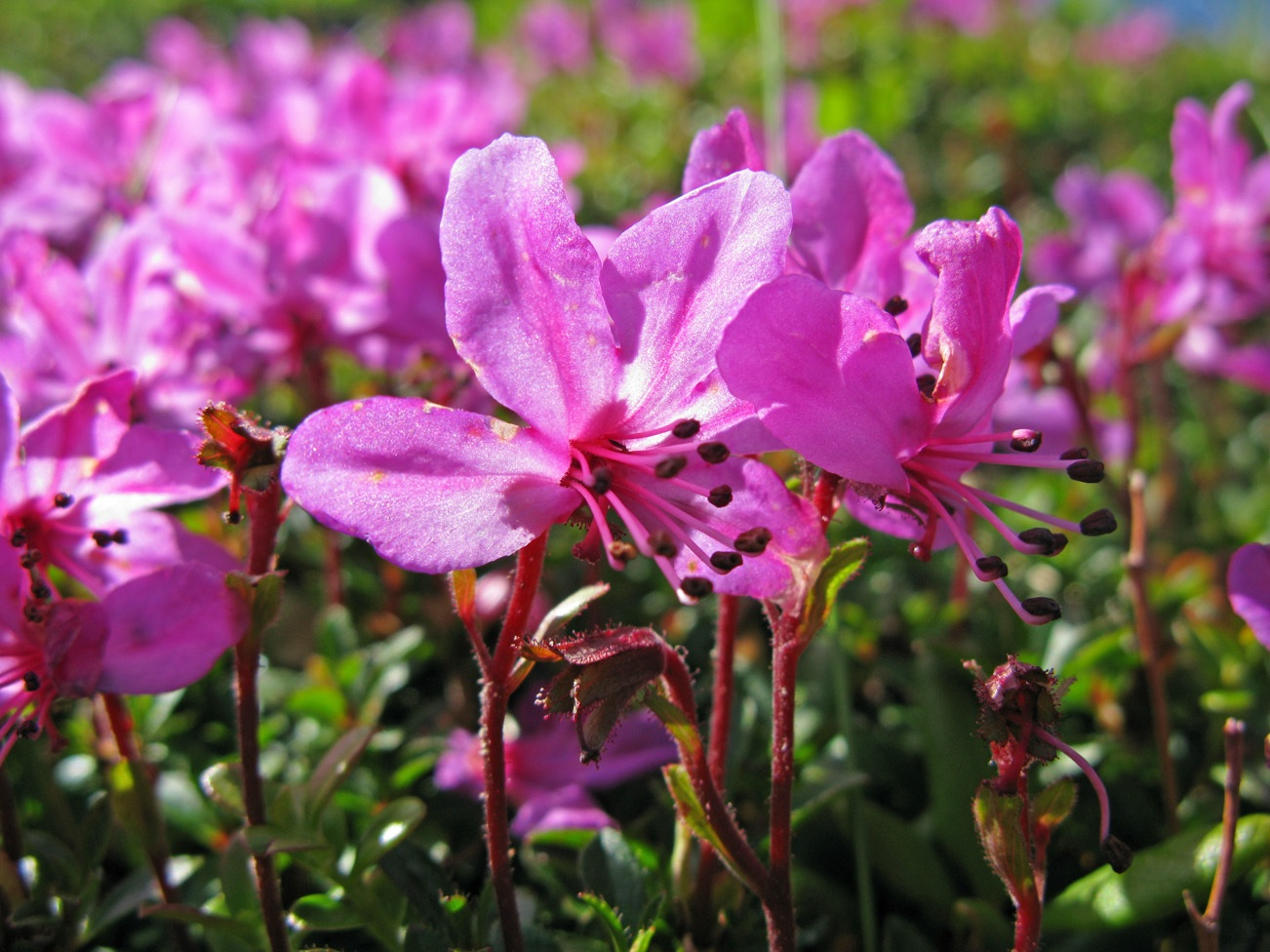 Цветы рододендрона крупно