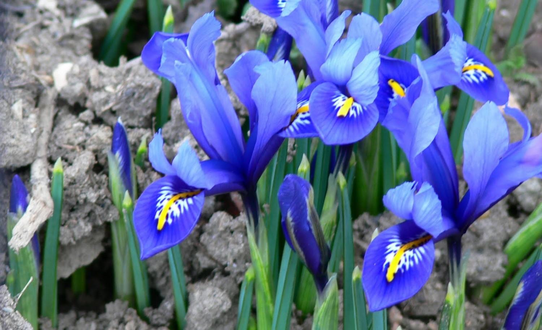 Цветы ирисы выращивание: уход и 12
