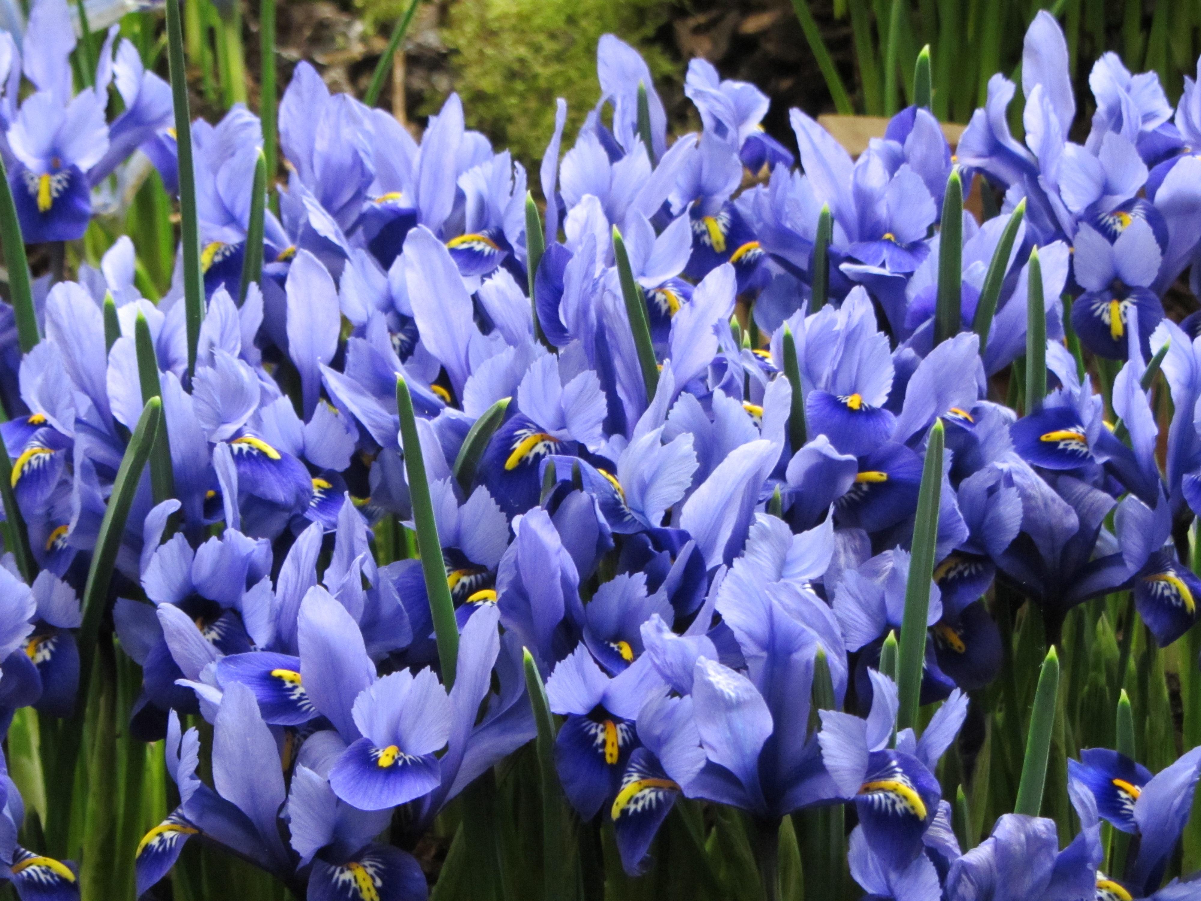 Буйное цветение ирисов