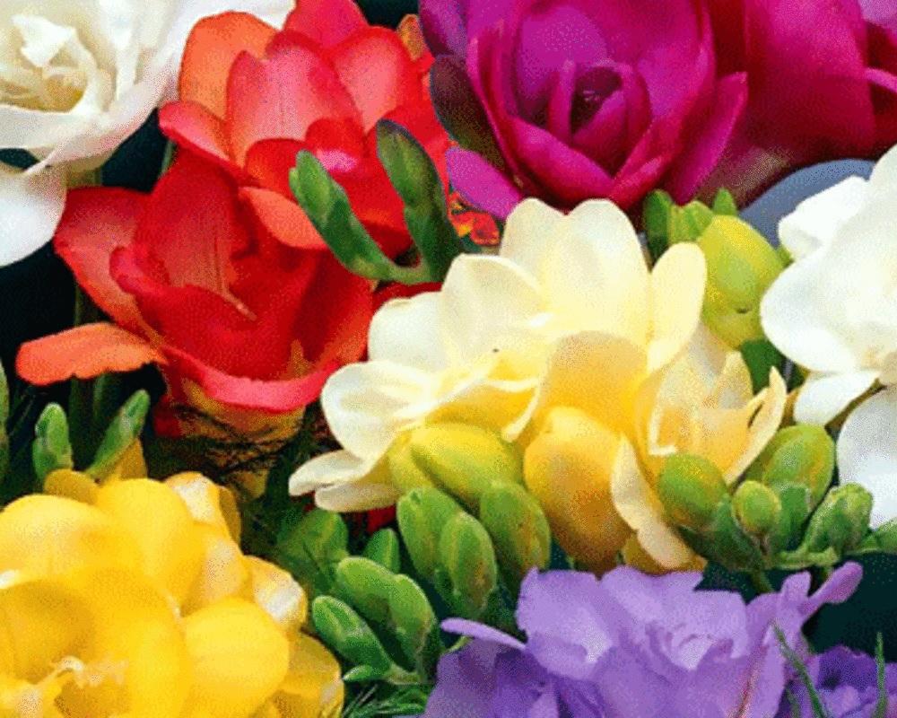 Многообразие расцветок фрезий
