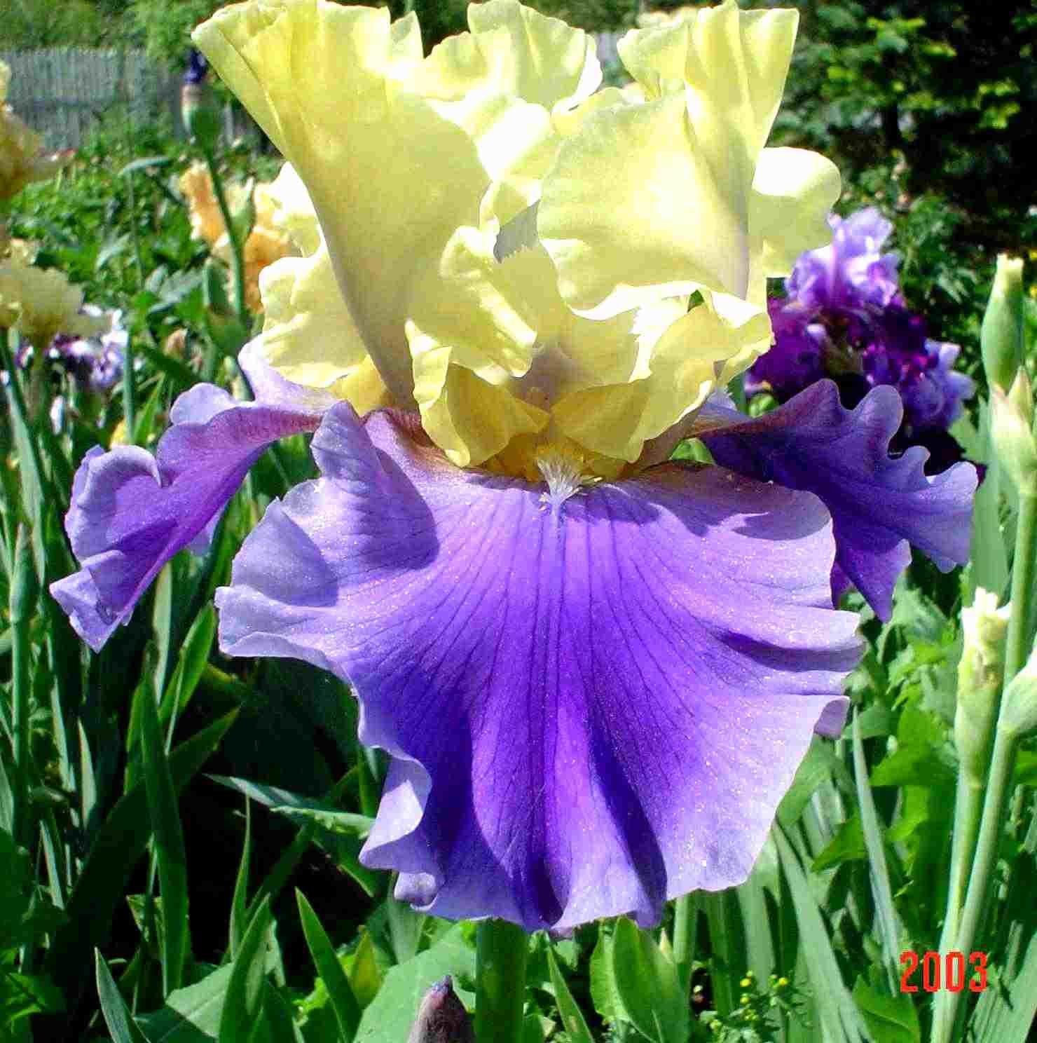Оригинальный окрас цветков ириса