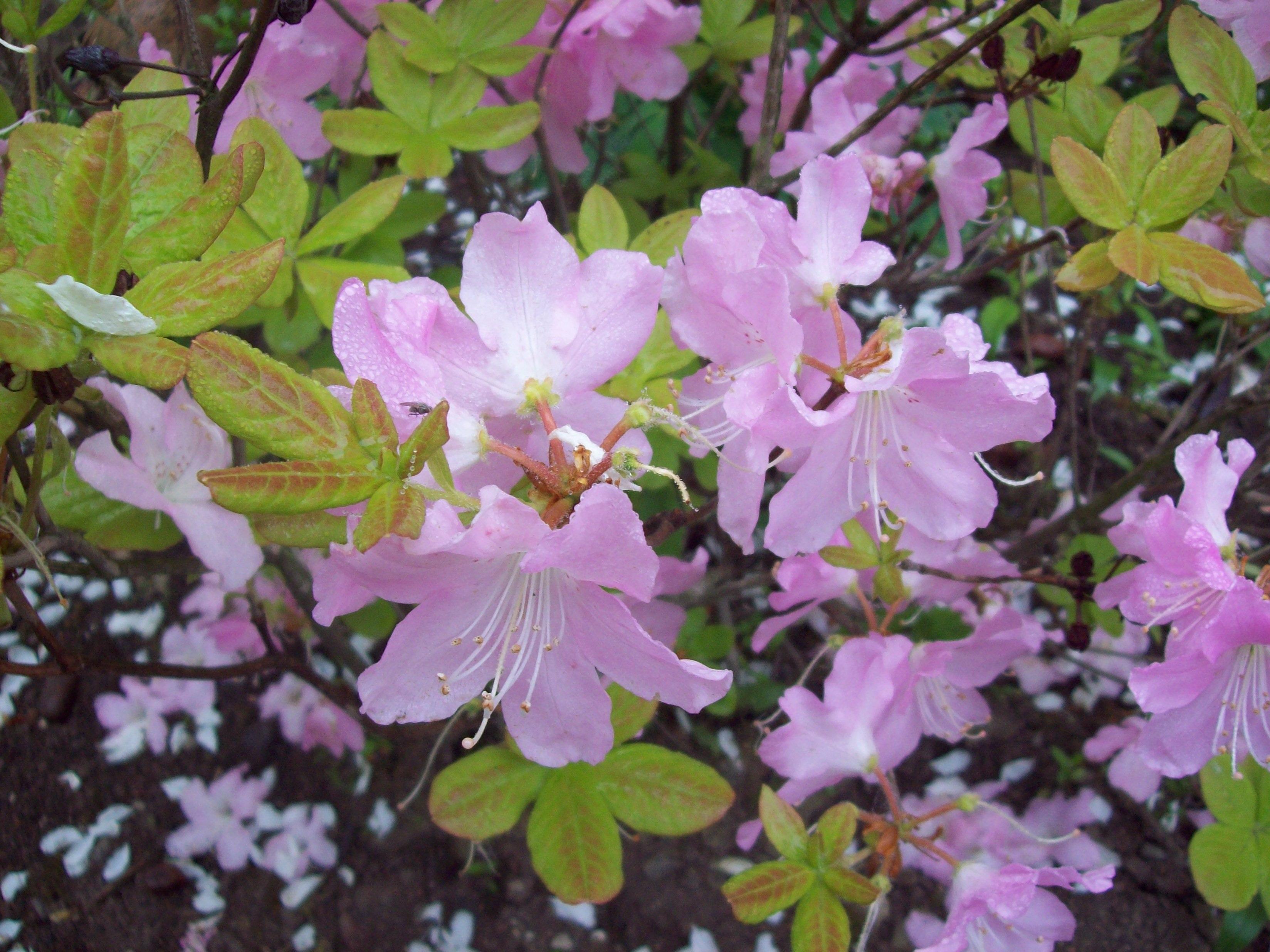 Бледно-розовые цветы рододендрона