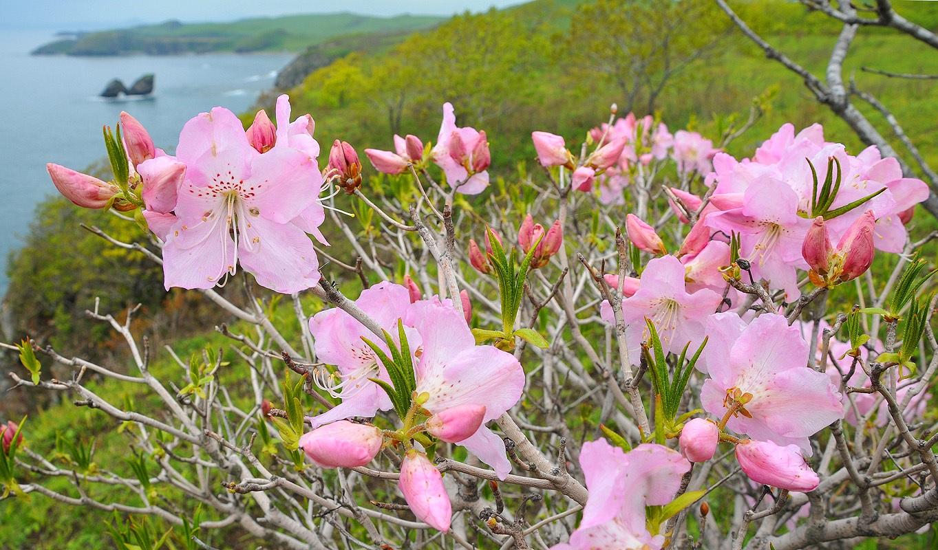 Розовый рододендрон в цвету
