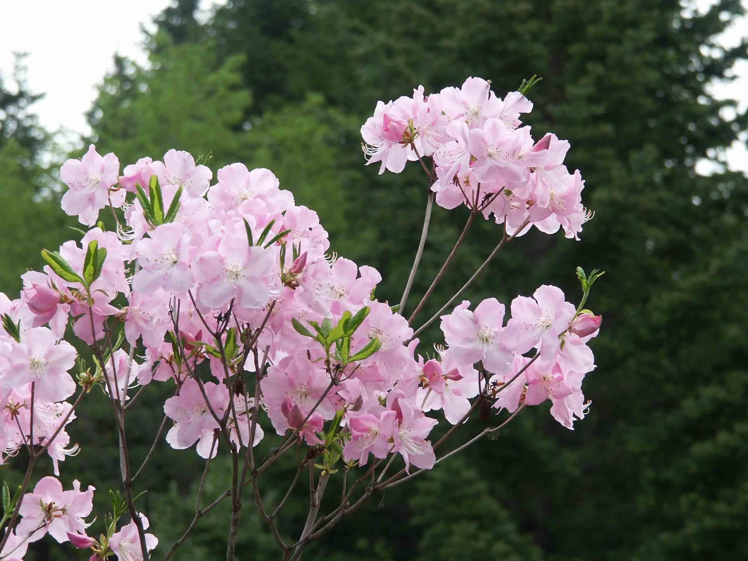 Бледный оттенок цветов рододендрона