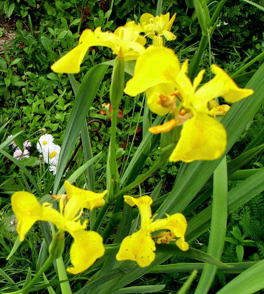 Желтый ирис для сада