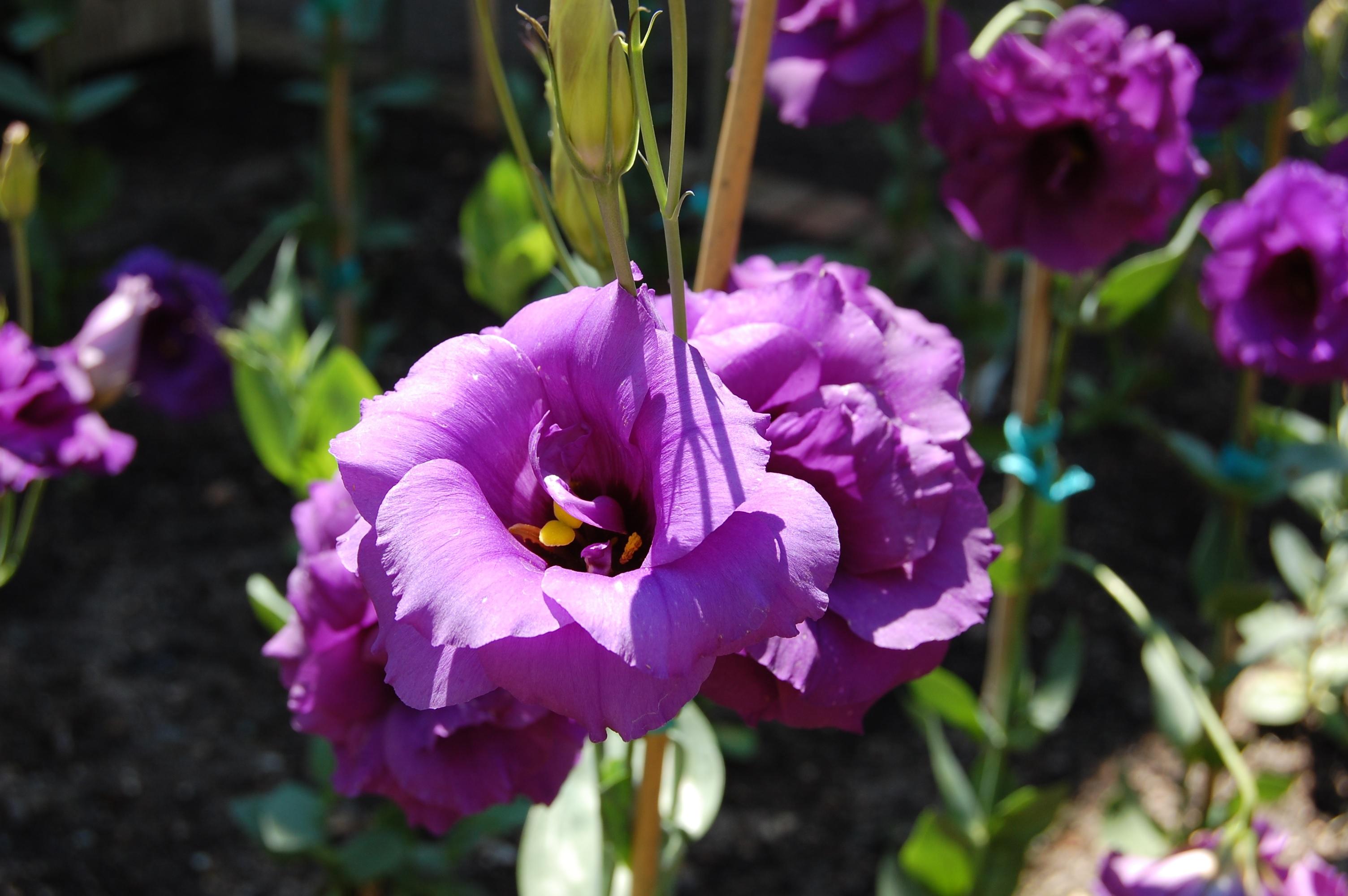 Фиолетовые эустомы в грунте