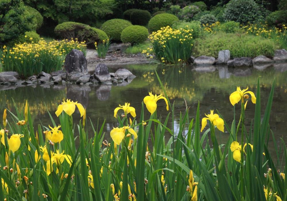 Желтые ирисы у воды