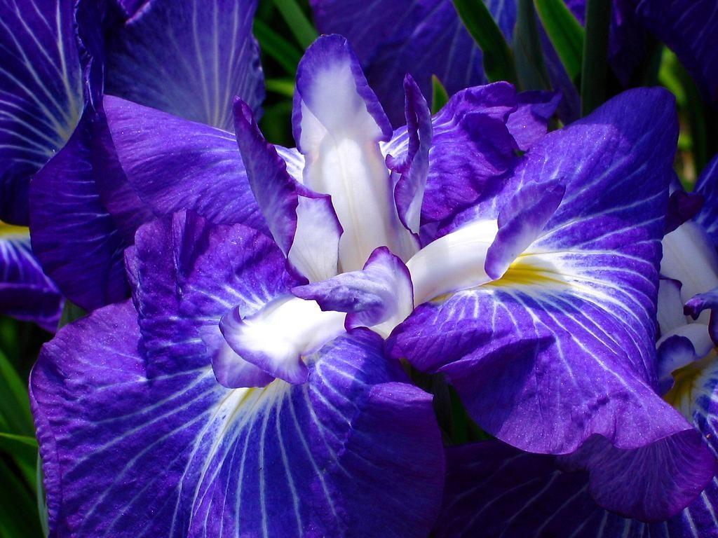 Глубокий оттенок синего на цветах ириса
