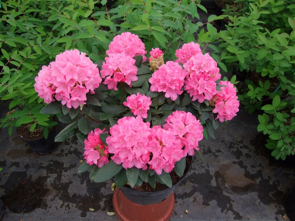 Яркие розовые цветы рододендрона в горшке