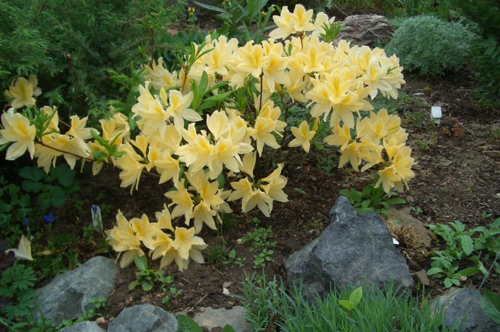 Нежно-желтые цветки рододендрона