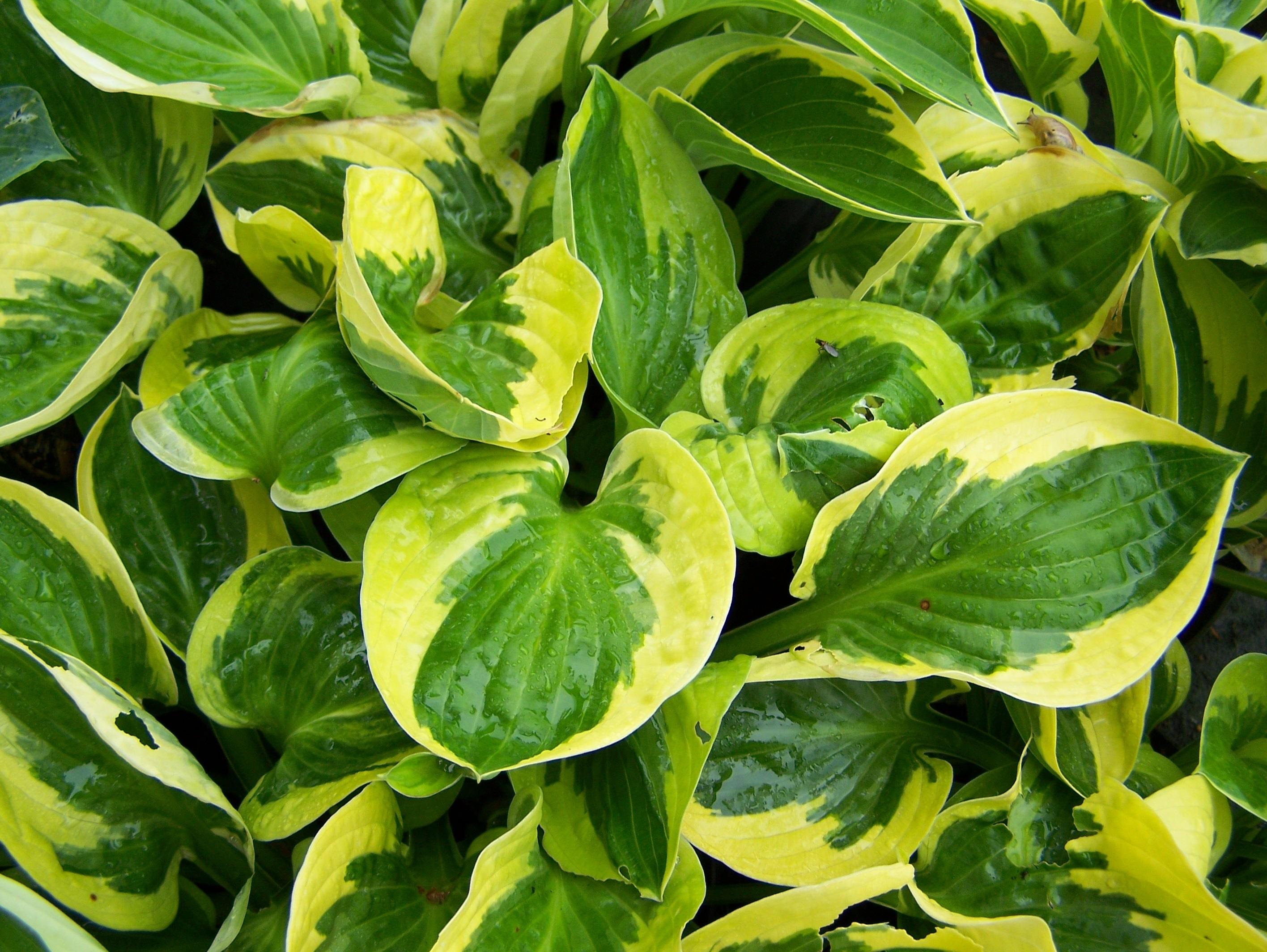 Оттенки желтого и зеленого на листьях хосты