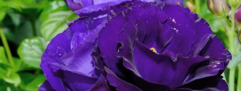 Яркие цветы эустомы