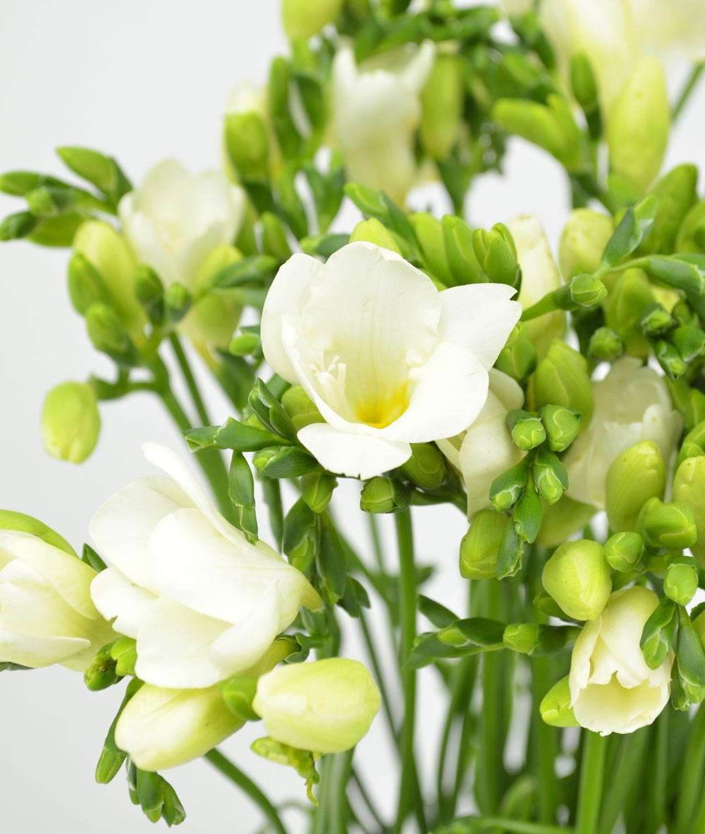 Белоснежные цветы фрезии