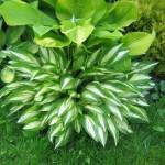 Хоста: пышный зеленый ковер на участке