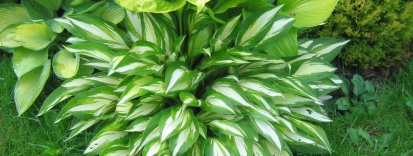 Остроконечные листья хоста
