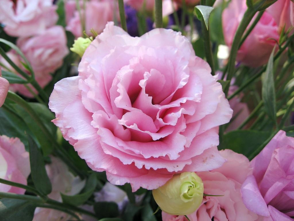 Нежно-розовые лепестки эустомы