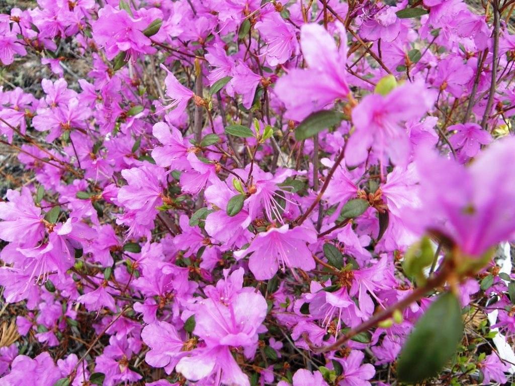 Сиреневые цветы рододендрона