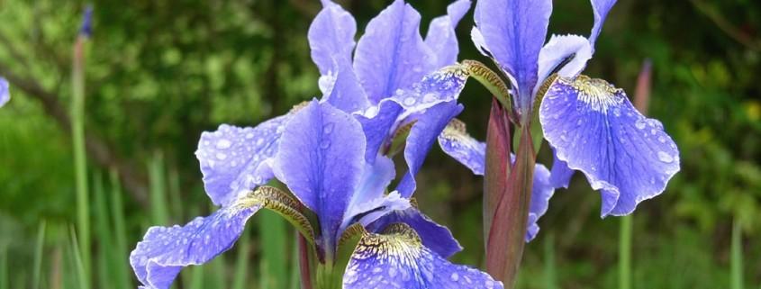 Лазурный оттенок цветка ириса