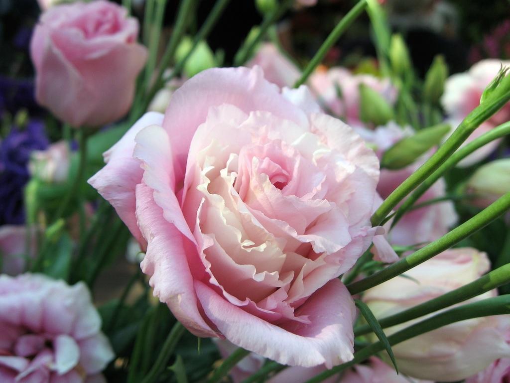 Нежные цветки эустомы