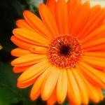 Специфика выращивания гербер и эффективный уход за ними