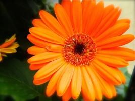 Ярко-оранжевая гербера