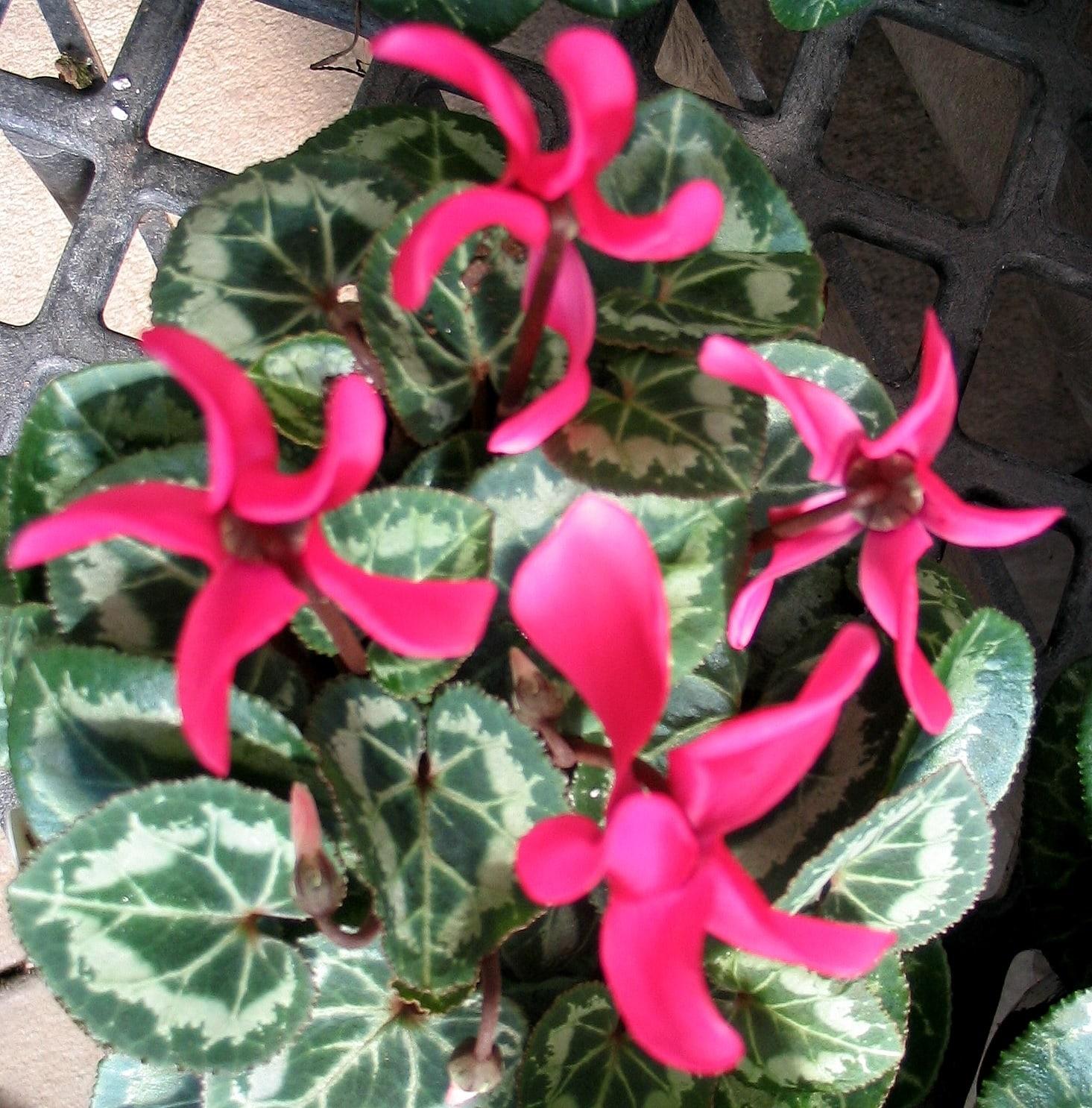 Красные цветы цикламена
