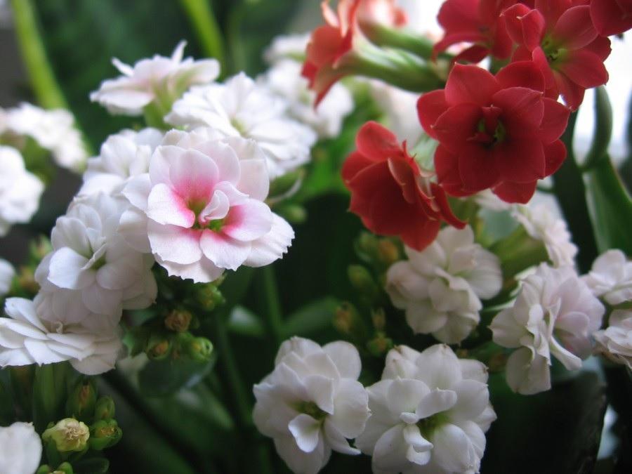 Разнообразные цветы каланхоэ