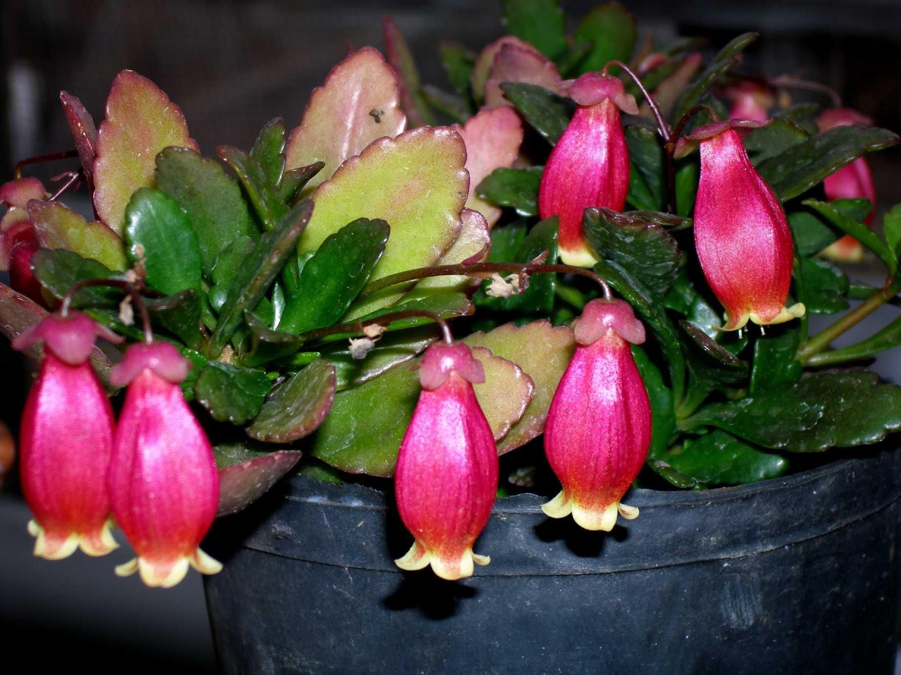 Розовые трубчатые цветы каланхоэ