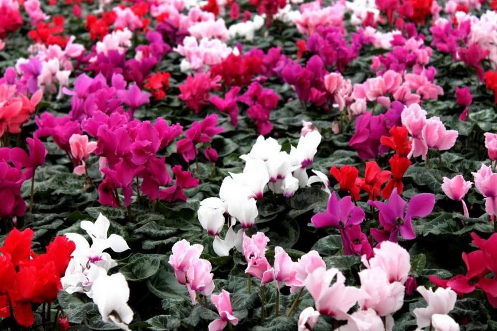 Многообразие цветов и оттенков цикламена