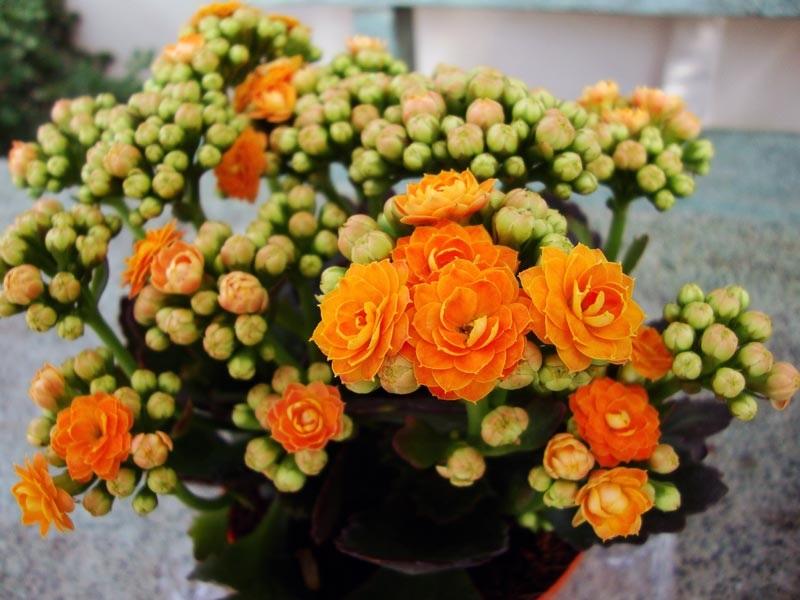 Ярко-оранжевое цветение каланхоэ