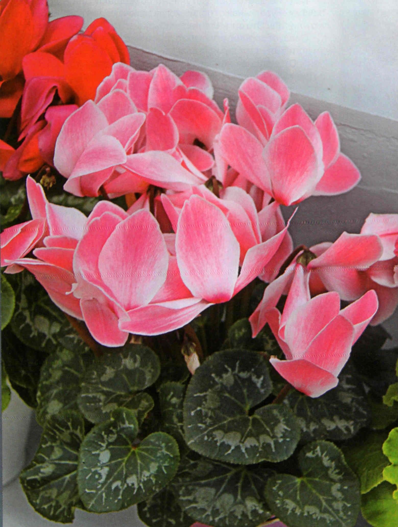 Необычный оттенок розового цикламена