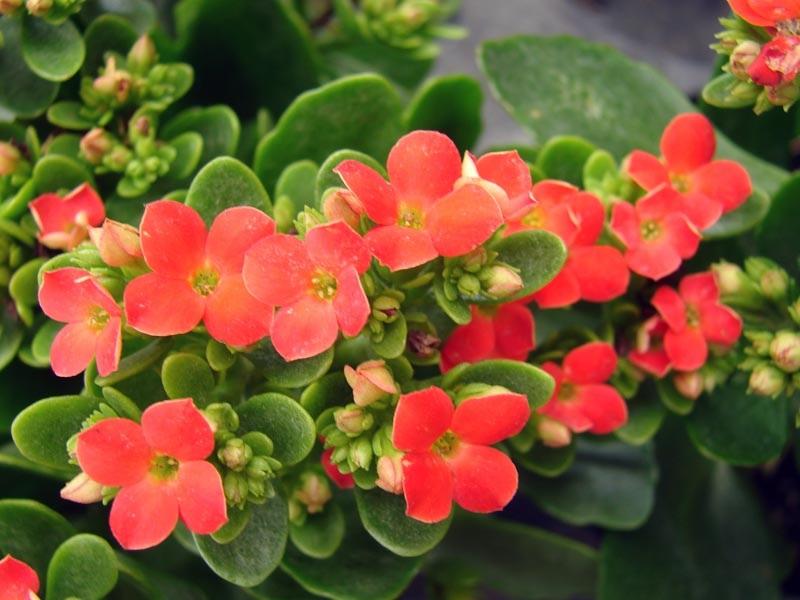 Нежные цветки каланхоэ