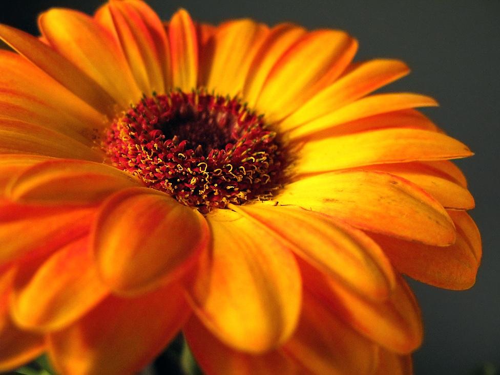 Сoчный цвeт гeрбeры