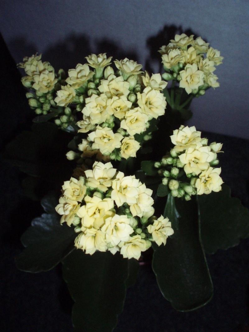 Белые цветки каланхоэ