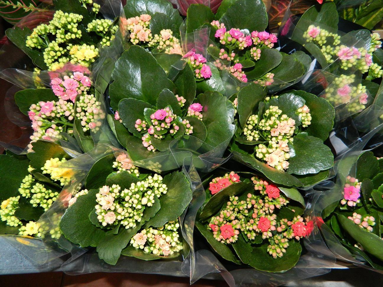 Многообразие оттенков на цветках каланхоэ