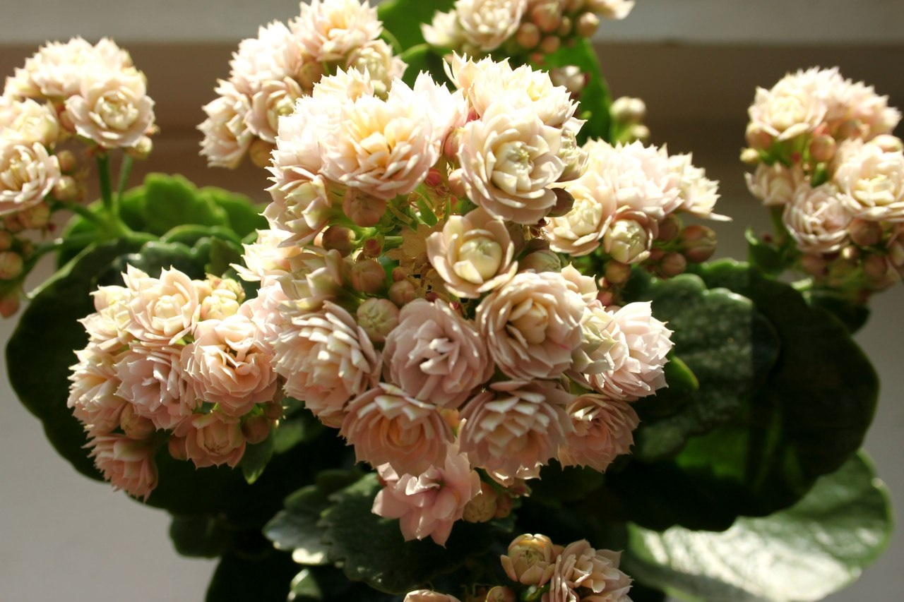 Пышное цветение каланхоэ