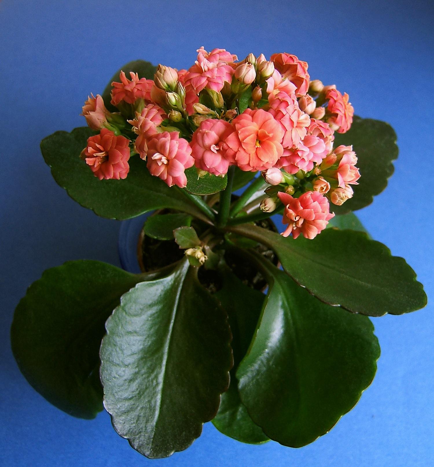 Оттенок розового на цветках каланхоэ