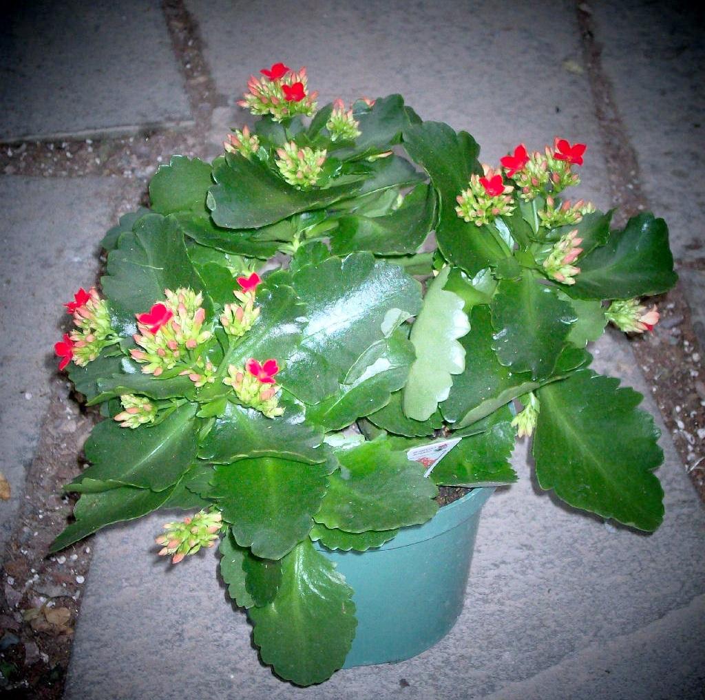 Яркие красные цветки каланхоэ