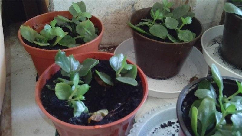Молодые растения каланхоэ