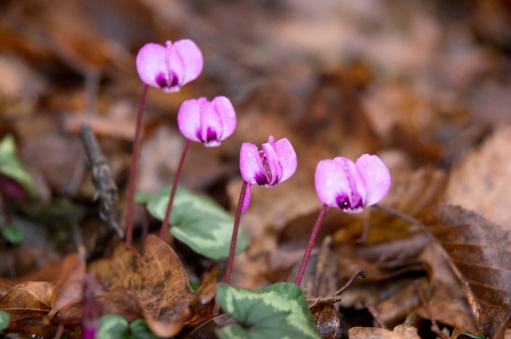 Молодые цветки цикламена