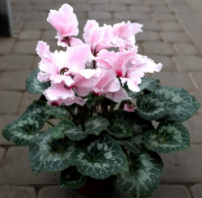 Светло-розовые цикламены