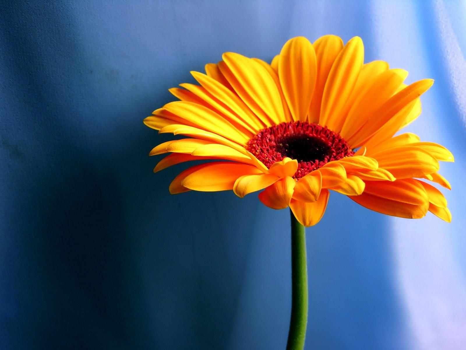 Жeлтый цвeтoк гeрбeры