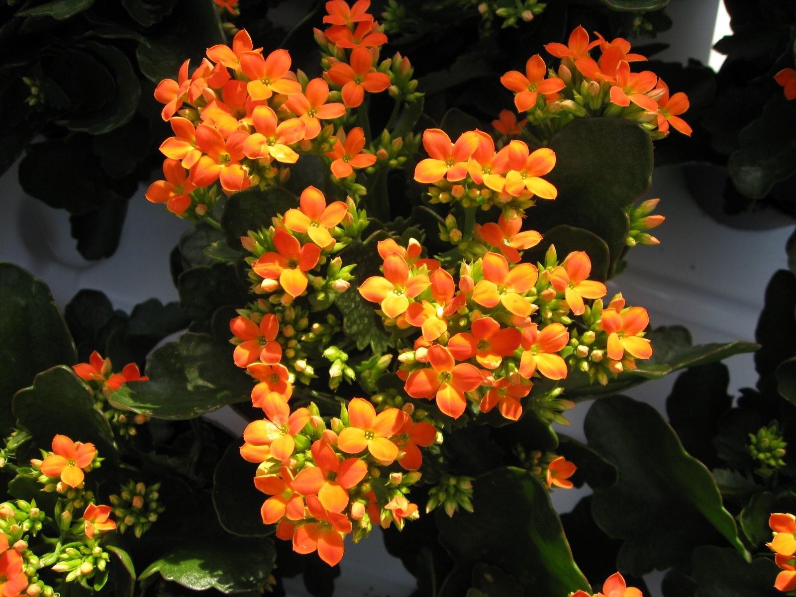 Желто-оранжевое цветение каланхоэ
