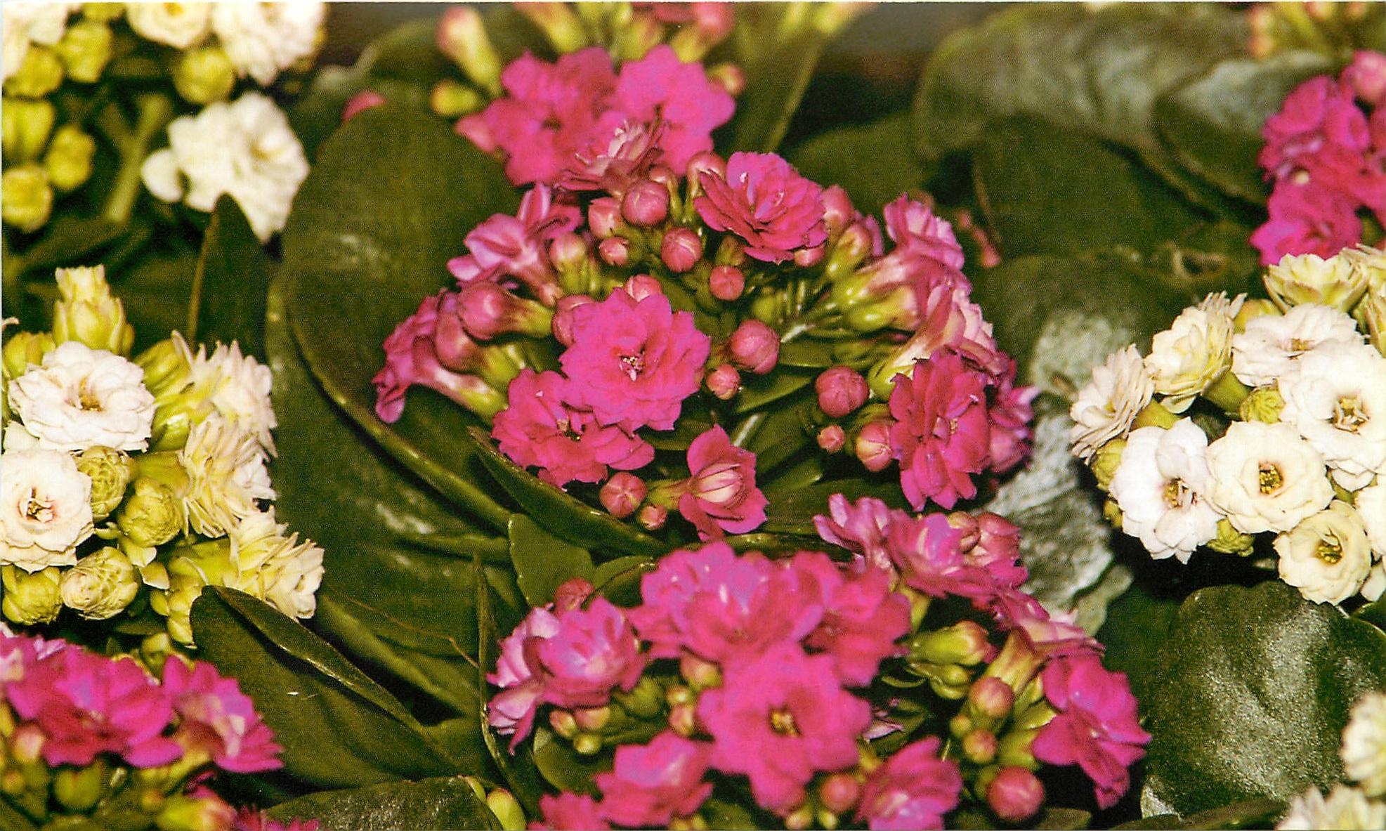 Бледно-розовые цветы каланхоэ