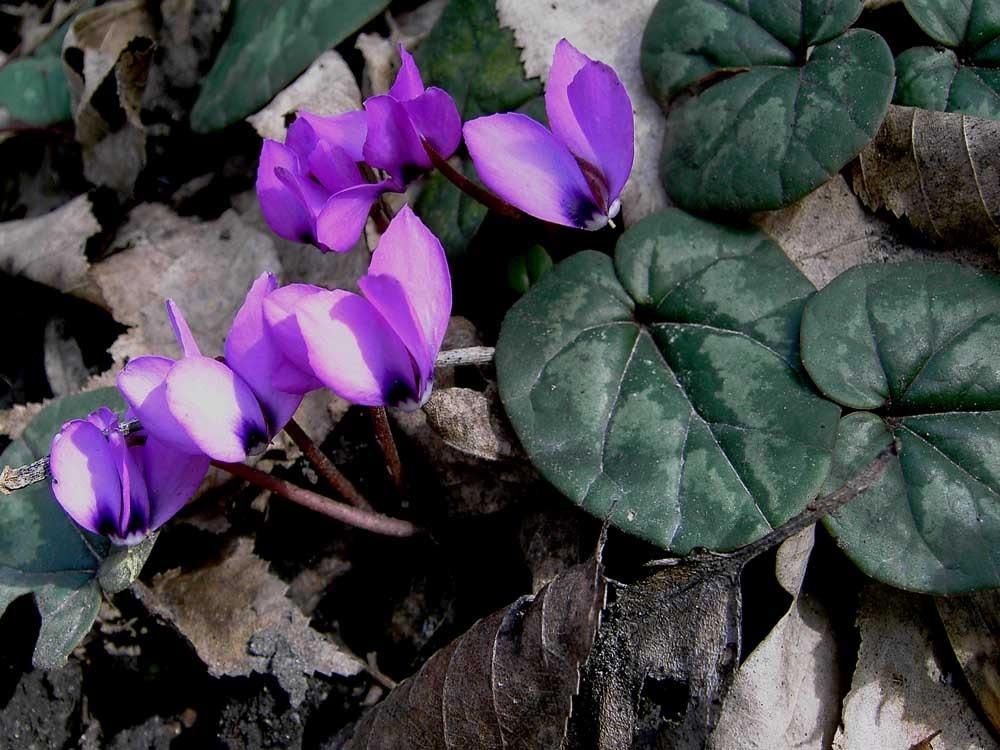 Темно-сиреневые цветы цикламена