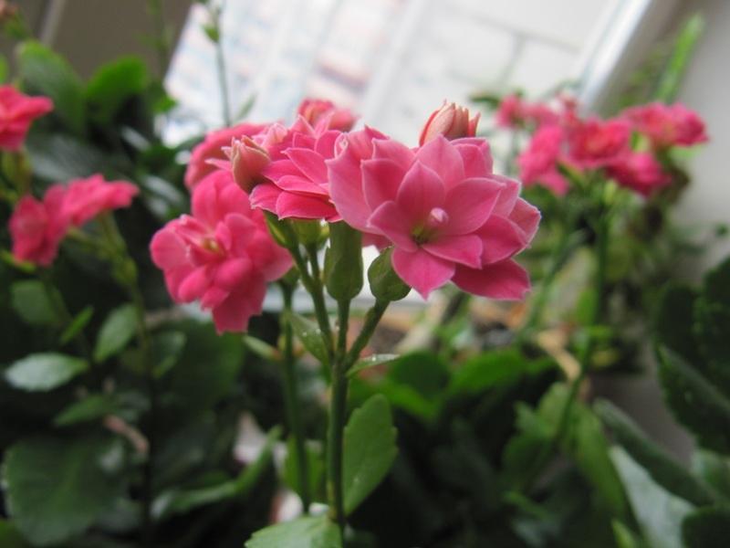 Розовые цветки каланхоэ крупно