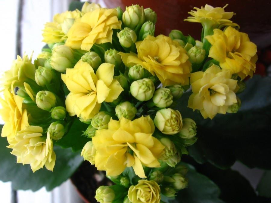Пышные желтые цветки каланхоэ