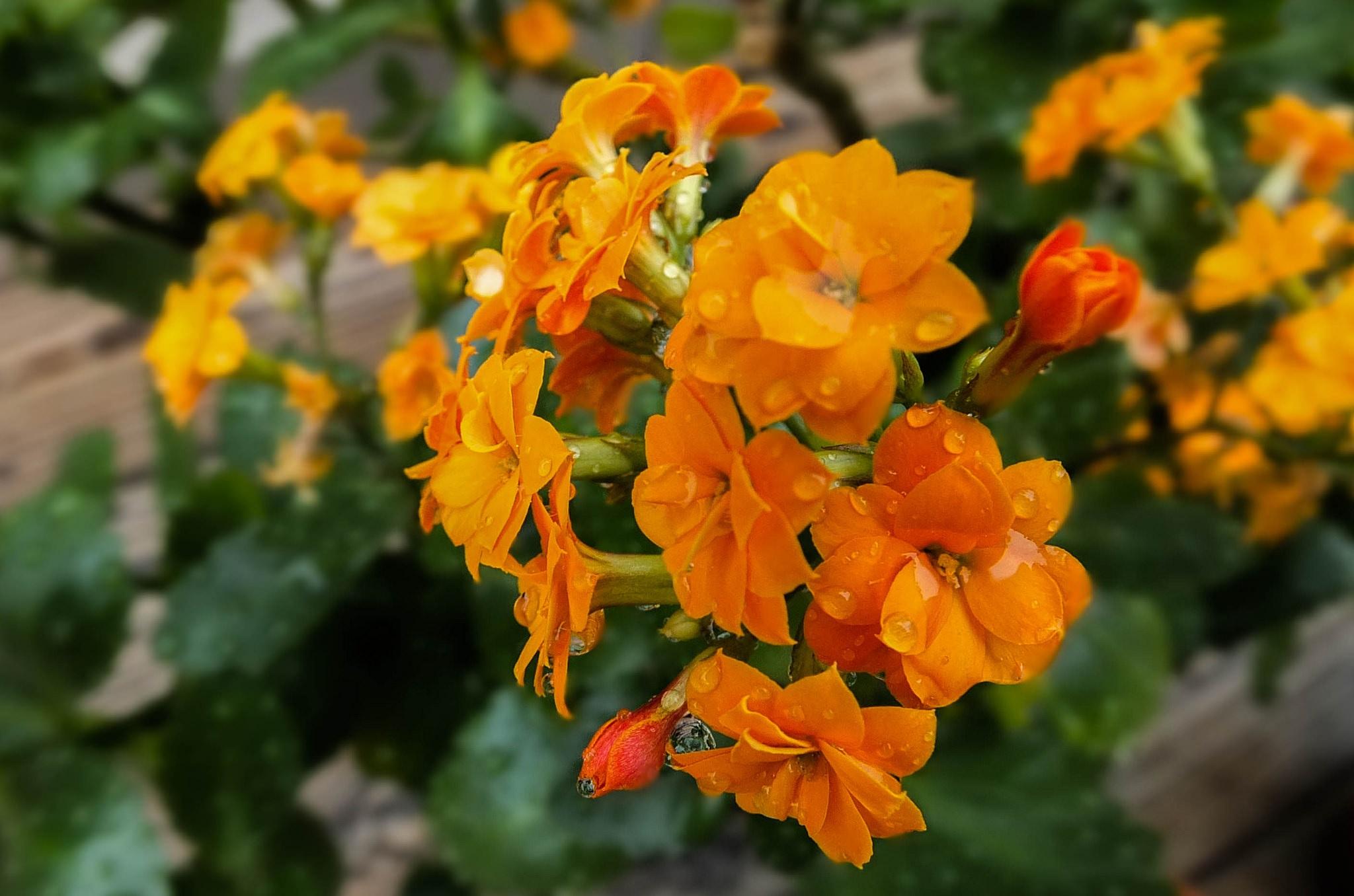 Оранжевые цветы каланхоэ