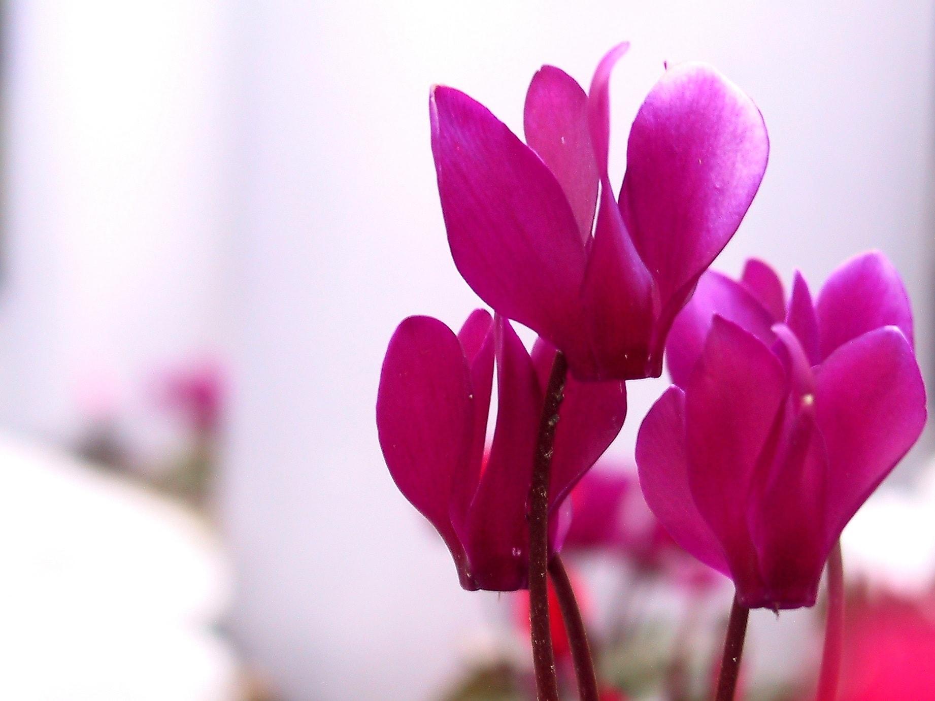 Крупный план цветков цикламена